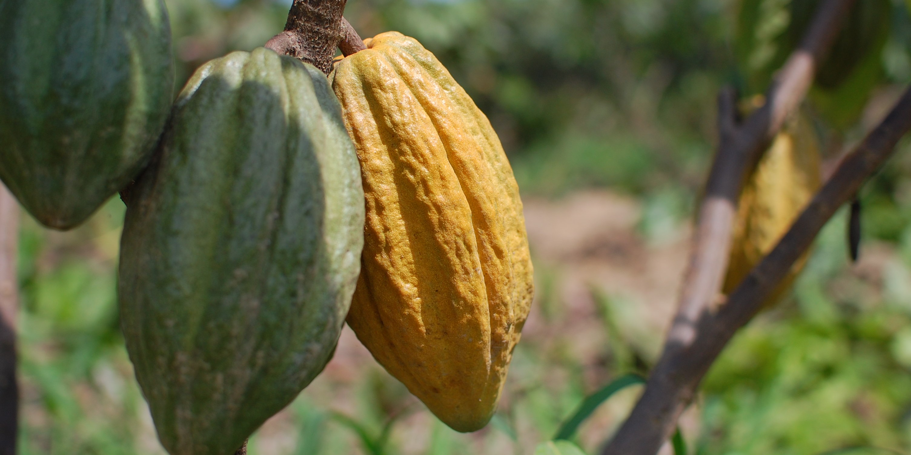Kakaove lusky