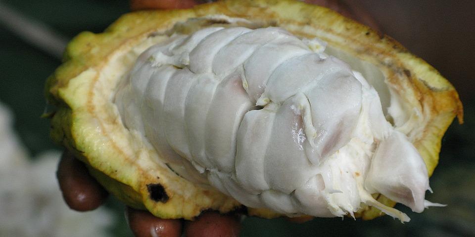 Kakaovy lusk